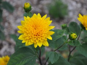 Helianthus x multiflores 'Sunshine Daydream'