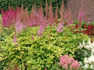 Astilbe 'Colorflash Lime'