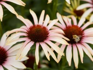Echinacea 'Blushing Meadow Mama'
