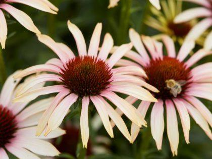Echinacea 'Blushing Meadow Mama'