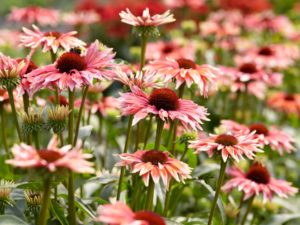 Echinacea 'Playful Meadow Mama'