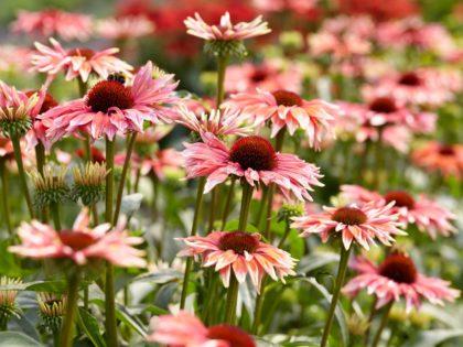 Echinacea 'Playful Meadow Mama'