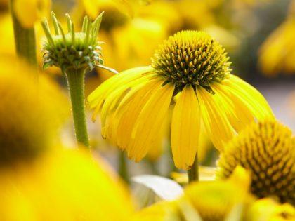 Echinacea 'Sunny Meadow Mama'