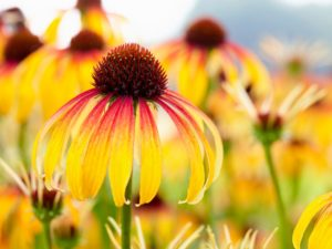 Echinacea 'Fiery Meadow Mama'