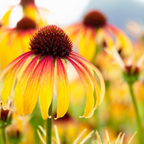 Echinacea 'Fiery Meadow Mama'