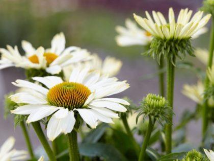 Echinacea 'Innocent Meadow Mama'