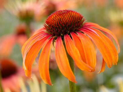 Echinacea 'Laughing Meadow Mama'