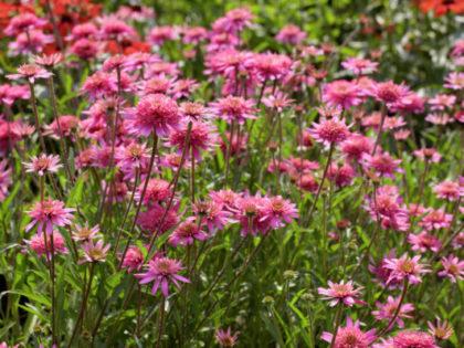 Echinacea 'Mini Belle'