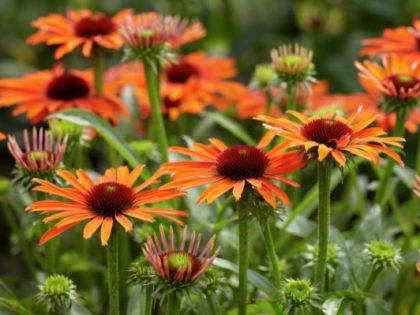 Echinacea 'Orange Skipper'