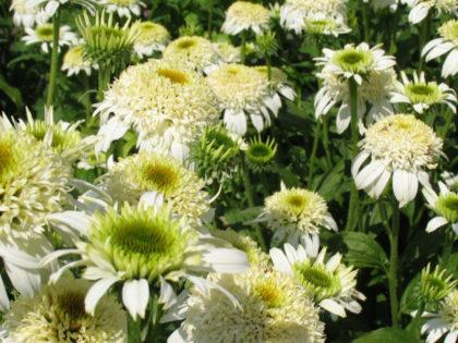Echinacea 'White Double Delight'