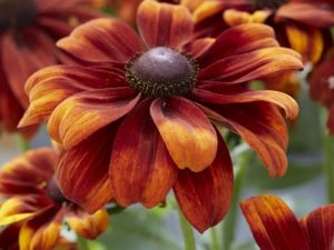 Rudbeckia 'Glowing'