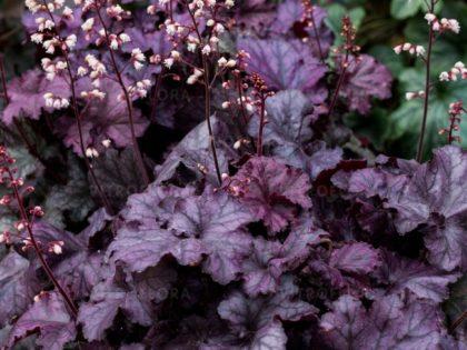 Heuchera 'Rex Purple'