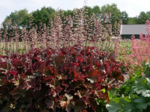 Heuchera 'Rex Red'