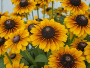 Rudbeckia 'Brilliant'