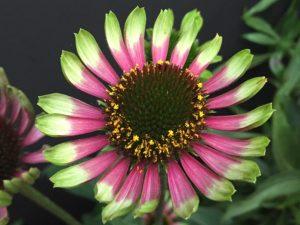 Echinacea Choco Green