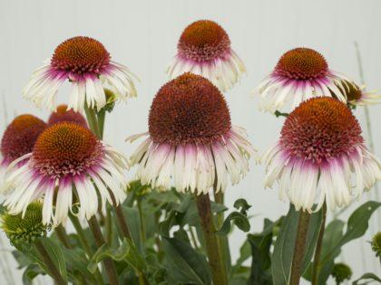 Echinacea 'Strawberry & Cream'