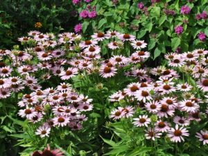 Echinacea 'Light Purple'