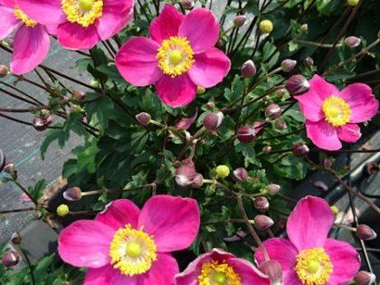 Anemone 'Little Summer Breeze'