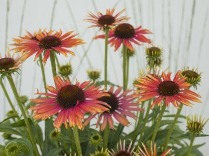Echinacea 'Orange Bicolor'
