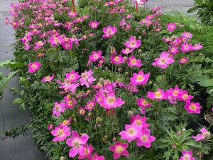 Anemone 'Spring Beauty Pink'