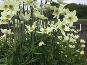 Anemone 'Spring Beauty White'