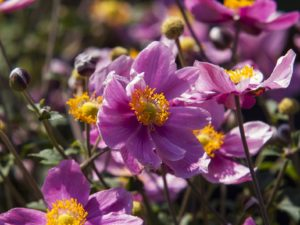 Anemone 'Summer Breeze'