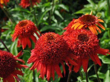 Echinacea 'Sweet Chili'