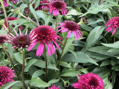 Echinacea 'Blueberry Cheesecake'