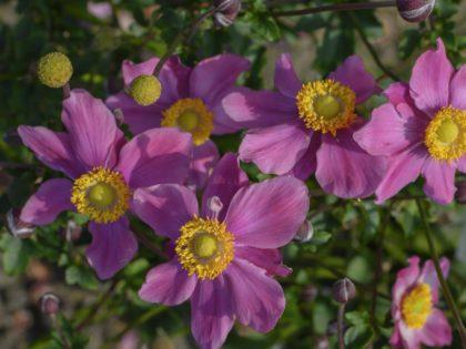 Anemone 'Summer Breeze Vibrant Pink'